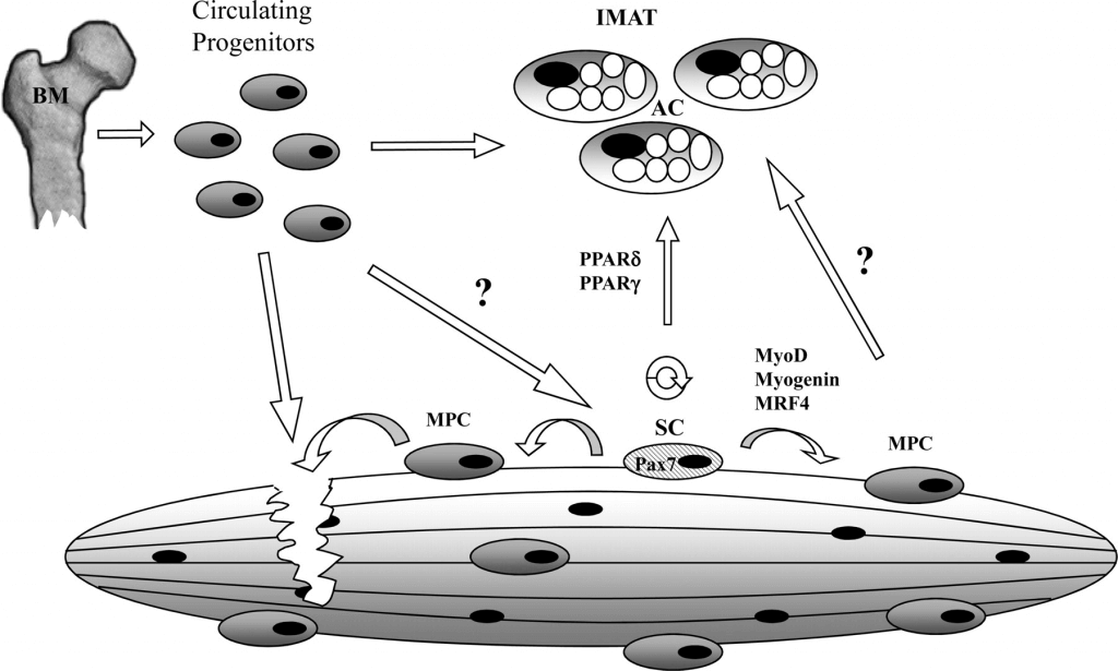 Satellite cells can be used both to repair muscle, or add to IMAT.  From Vettor (2009)
